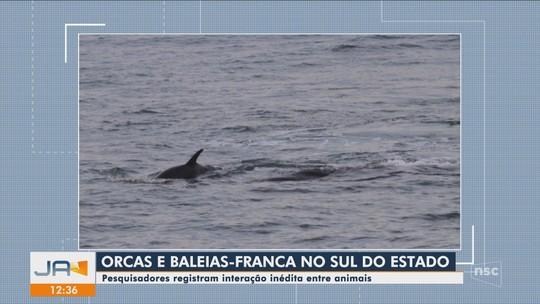Pesquisadores registram interação entre orcas e baleias-francas no Sul de SC
