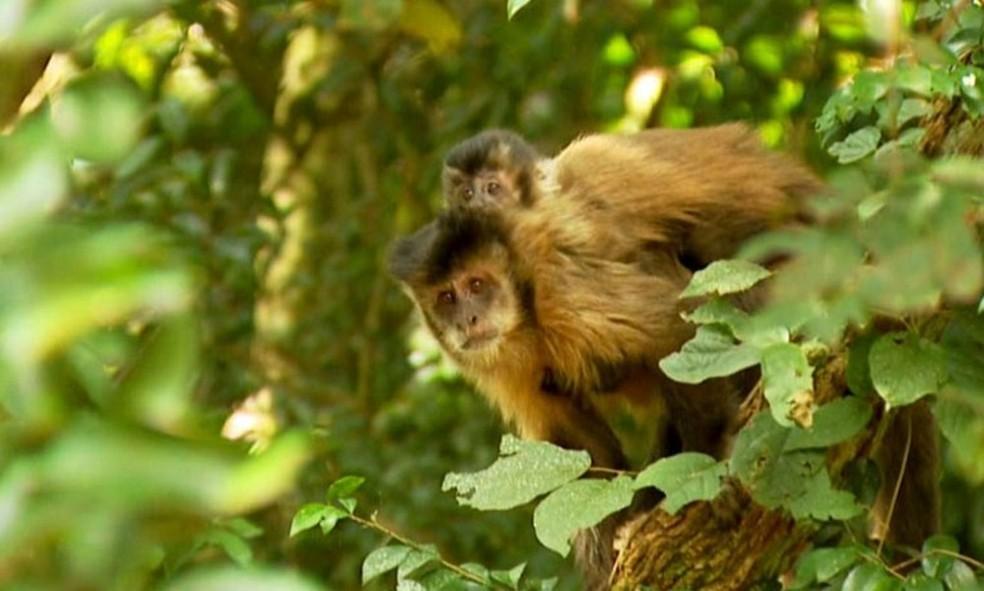 Macacos não trasmitem Febre Amarela aos humanos, mas indicam presença do vírus (Foto: Arquivo / TG )