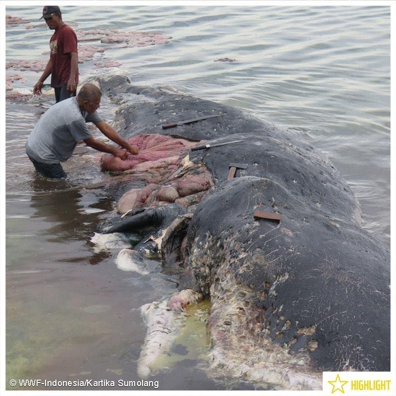 Cachalote tinha mais de 100 copos plásticos no organismo (Foto: WWF-Indonesia/Kartika Sumolang)