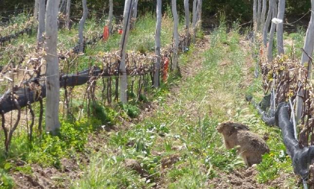 Lebre no vinhedo: preocupação com sustentabilidade