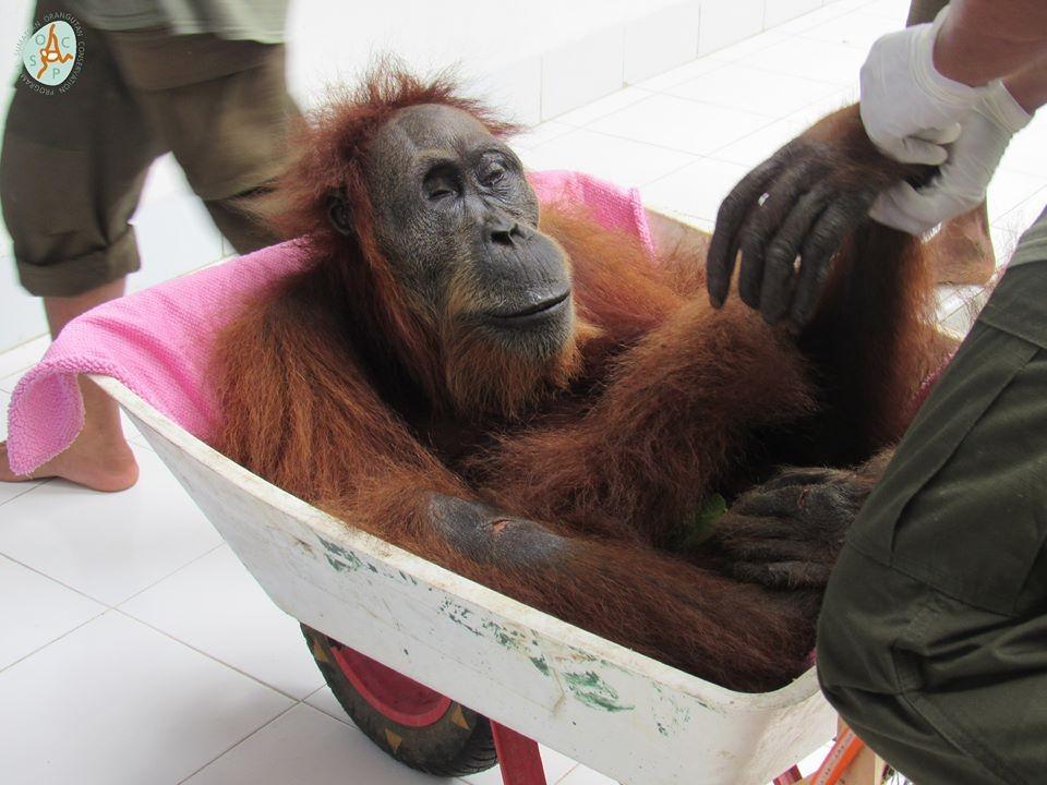 Orangotango foi gravemente ferida na província de Achém, na Indonésia.  (Foto: Facebook / Programa de Conservação do Orangotango de Sumatra )