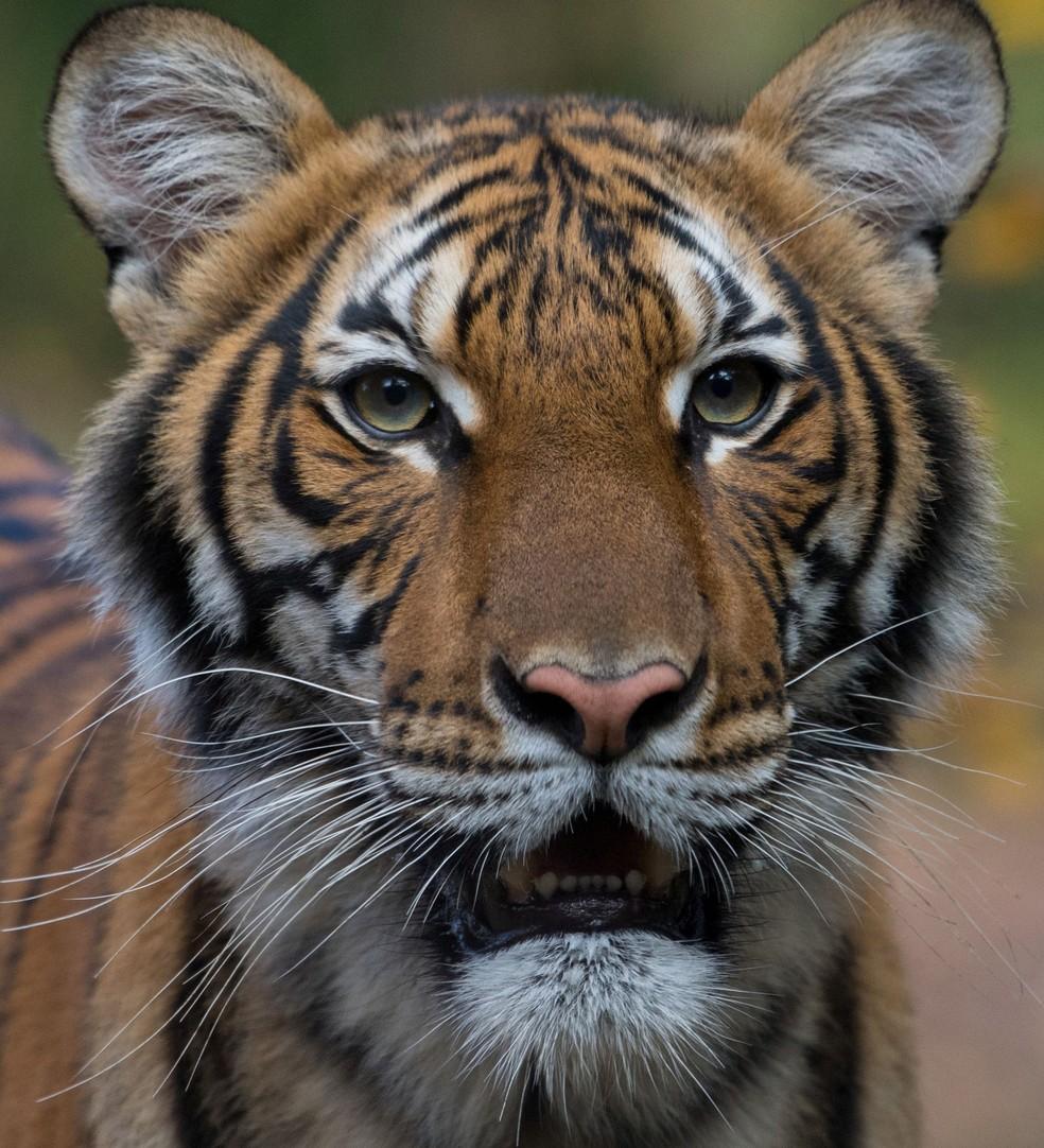 Nadia, uma tigresa malaia de 4 anos, no Zoológico do Bronx, em Nova York, em imagem se data; a instituição informou, em 5 de abril de 2020, que o animal testou positivo para o novo coronavírus (Sars-CoV-2) — Foto: Reuters