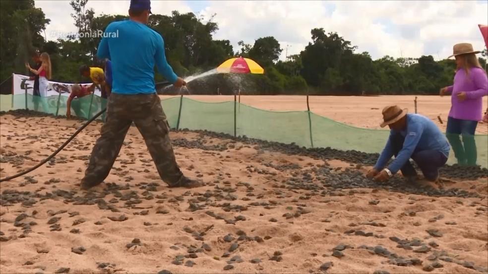 Tartarugas resgatadas por voluntários em São Francisco, RO — Foto: Rede Amazônica/Reprodução
