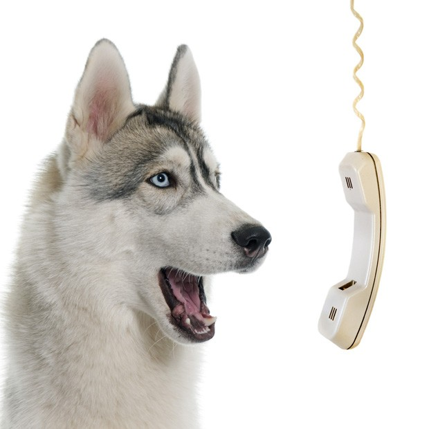gray siberian husky calling in front of white background (Foto: Getty Images/iStockphoto)