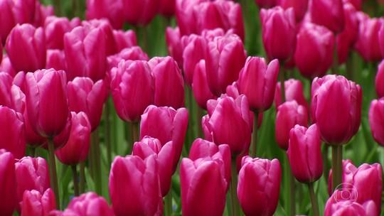 A cada ano são registradas entre cem e 200 novas variedades de tulipas na Holanda