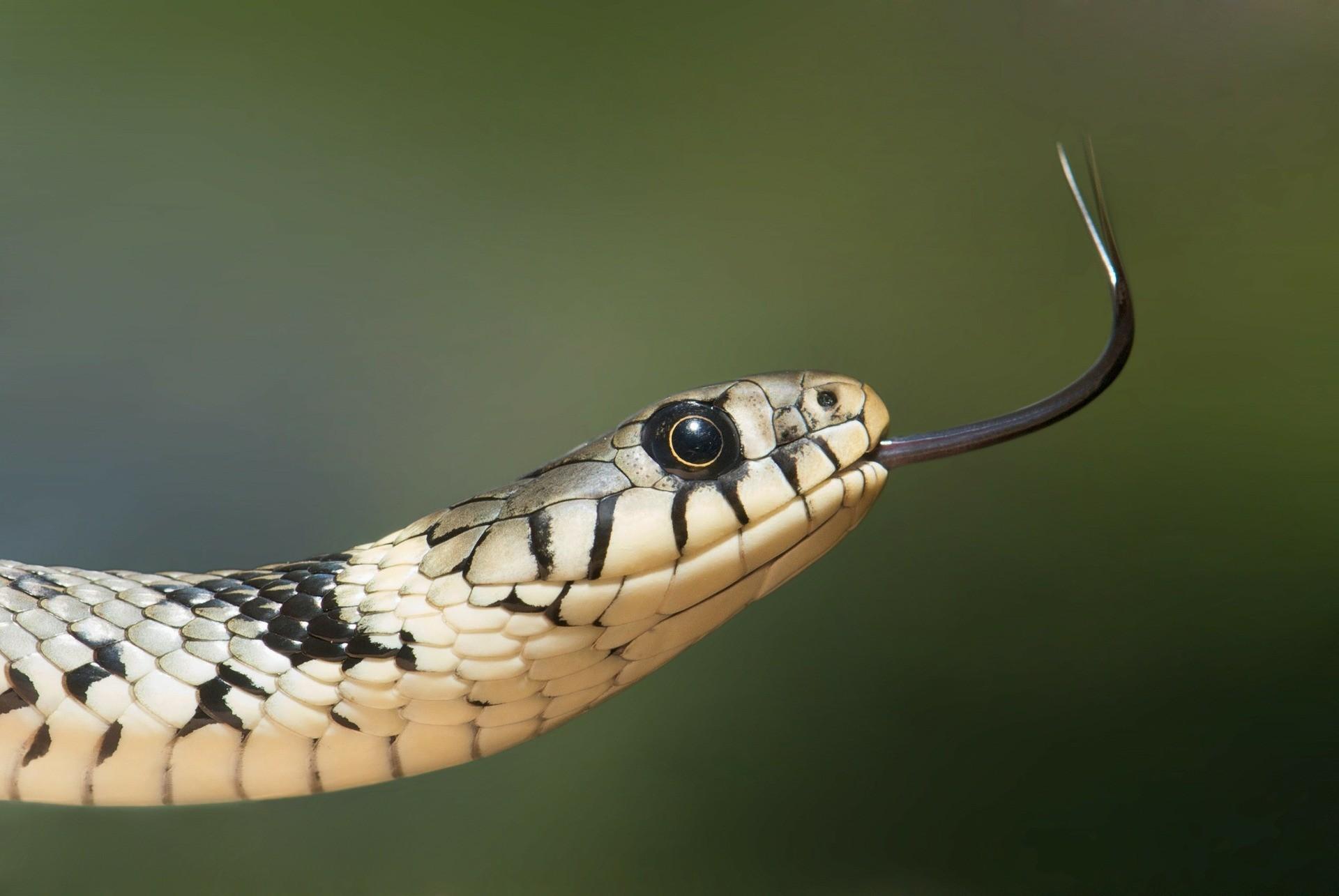 Cobras têm dieta realmente restritiva (Foto: Pixabay)