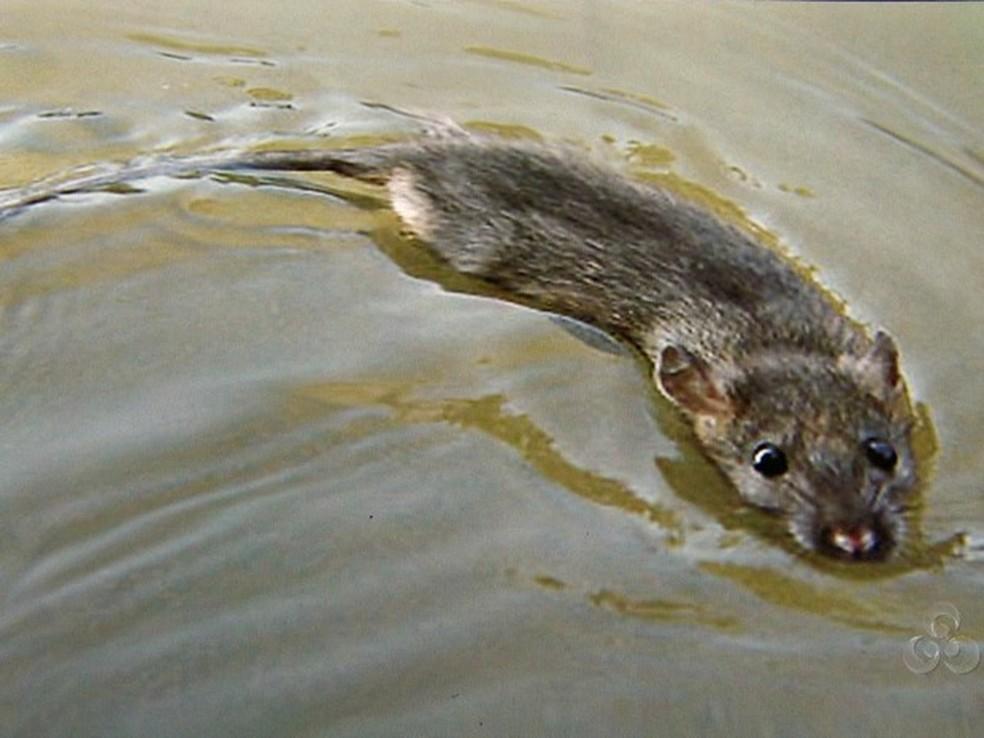 Leptospirose é transmitida através da urina de rato  — Foto: Rede Amazônica/Reprodução