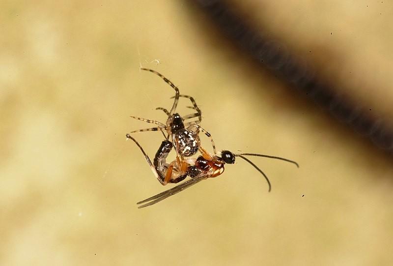 Vespa Zatypota é capaz de mudar o comportamento da aranha Anelosimus eximius (Foto: Keizo Takasuka, Niclas R. Fritzén, Yoshihiro Tanaka, Rikio Matsumoto, Kaoru Maeto and Mark R. Shaw)