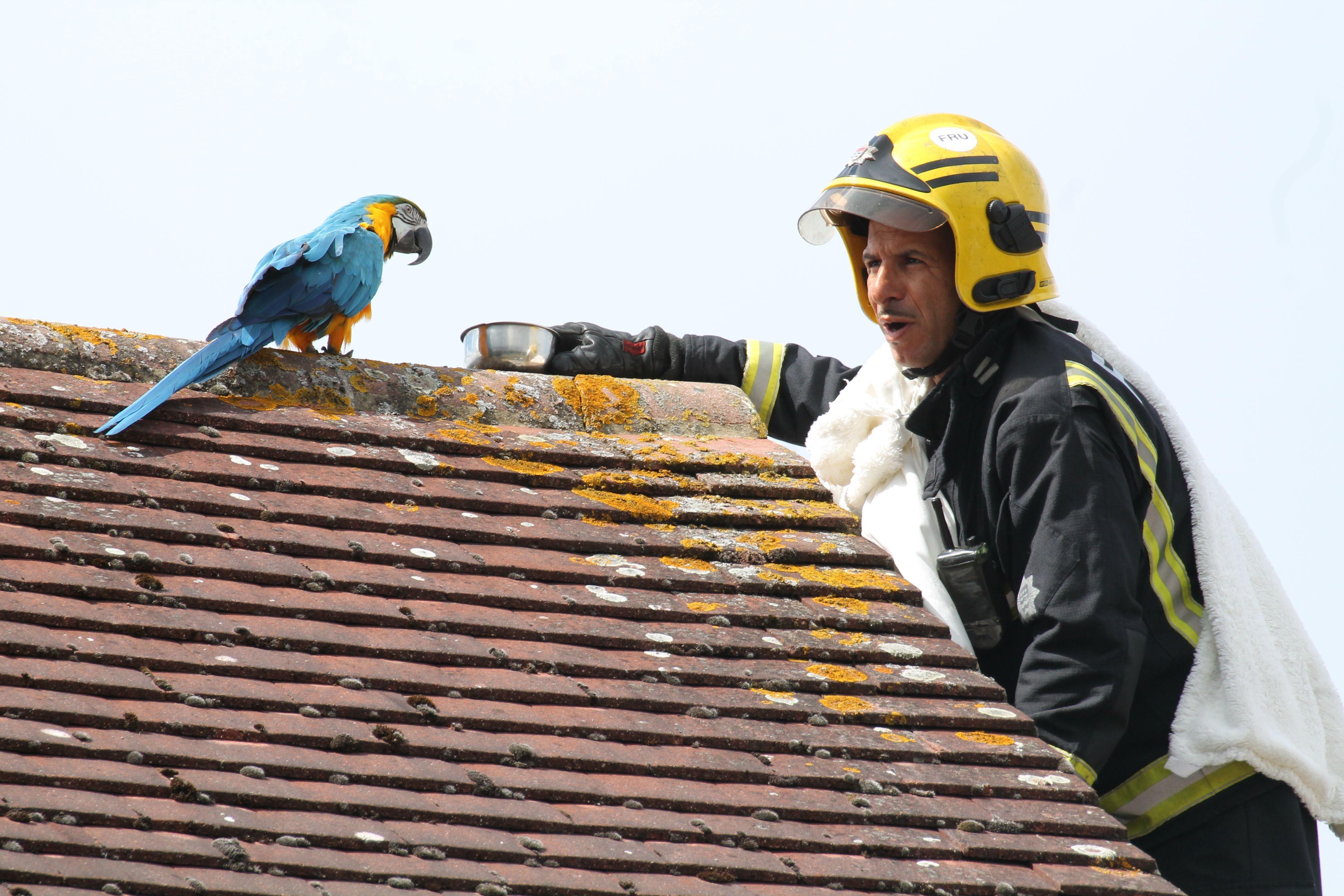 Bombeiro tenta convencer papagaia Jessie a descer do telhado. (Foto: Twitter/London Fire Brigade)