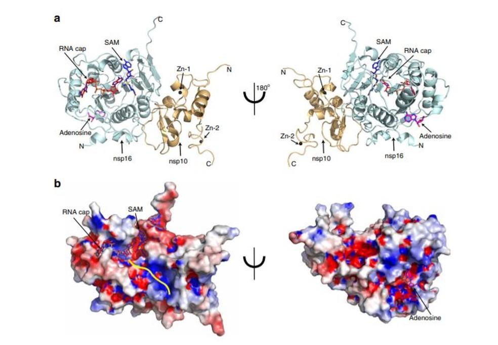 Estrutura de enzimas produzidas pelo Sars CoV-2 — Foto: Nature Communications/Reprodução
