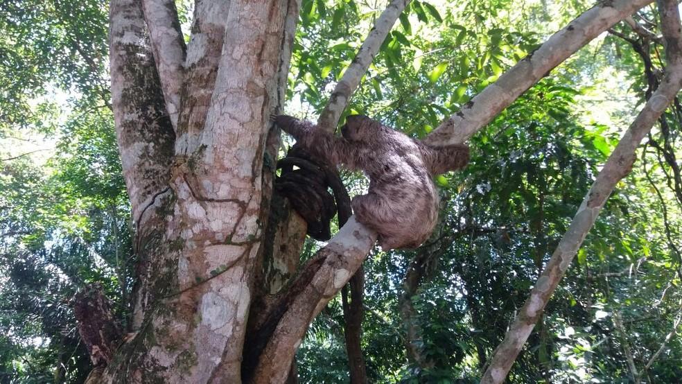 Bicho-preguiça foi colocado entre os galhos de uma árvore às margens da rodovia BR-232 (Foto: PRF/Divulgação)