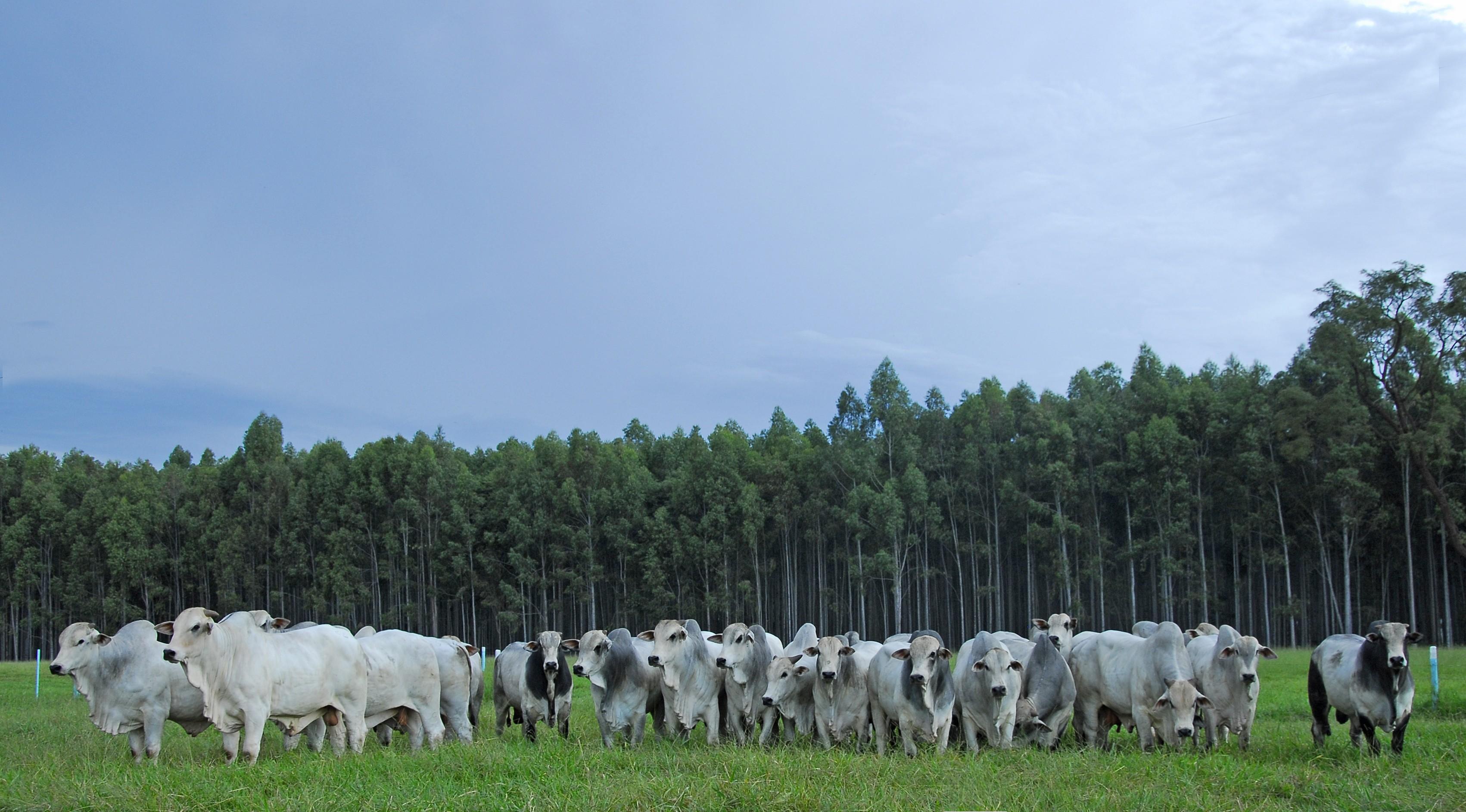 touros-nelore-digenio (Foto: Divulgação)