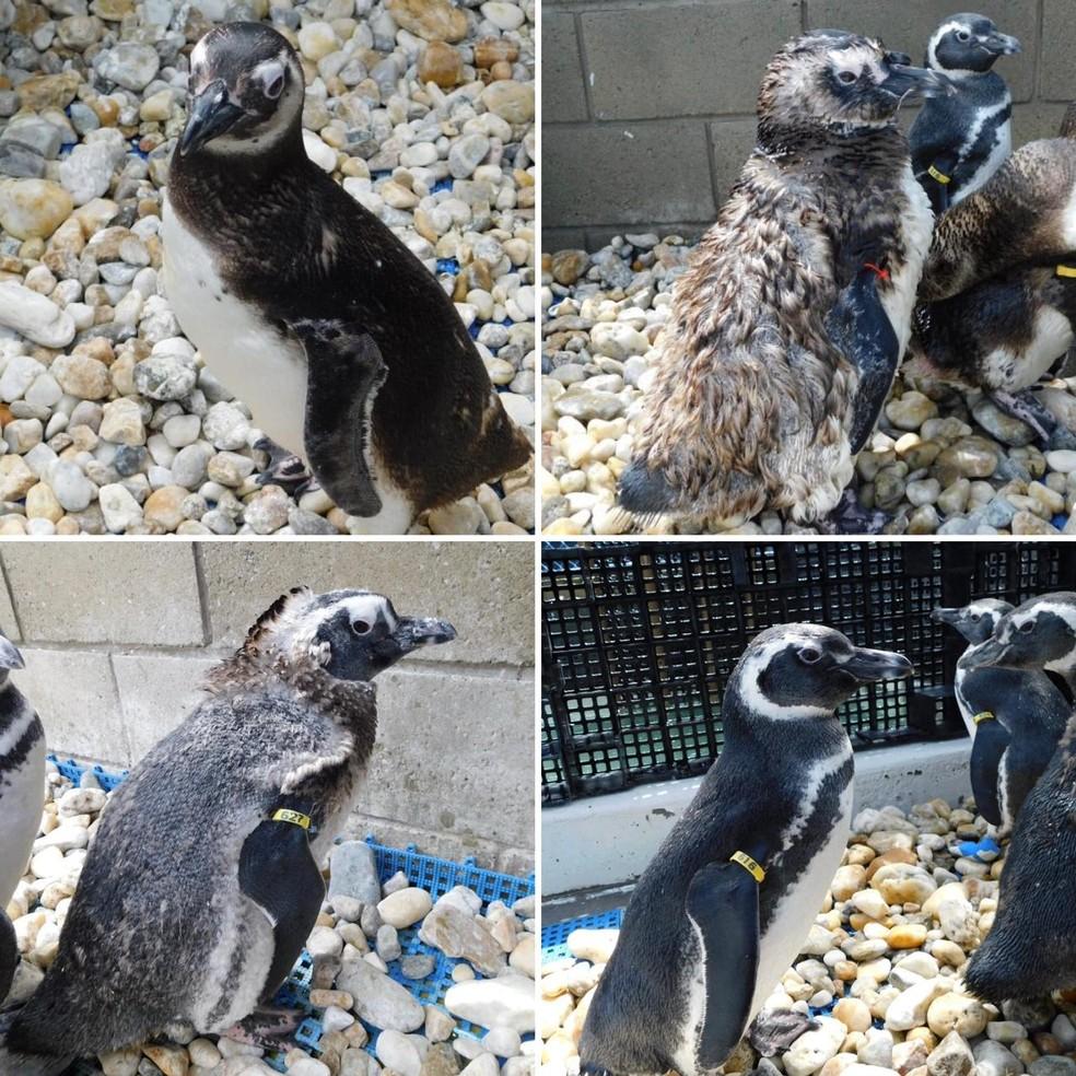 Pinguins-de-magalhães no processo de troca de penas — Foto: CePRAM/R3Animal