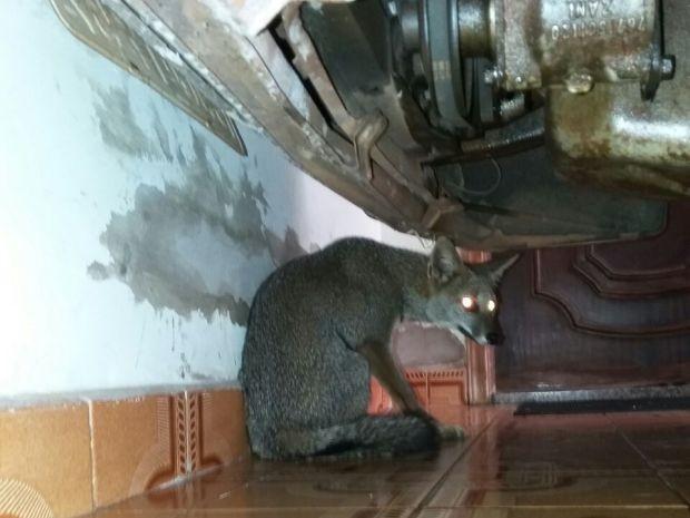Bombeiros resgataram raposa em Tupã (Foto: Corpo de Bombeiros/Divulgação)