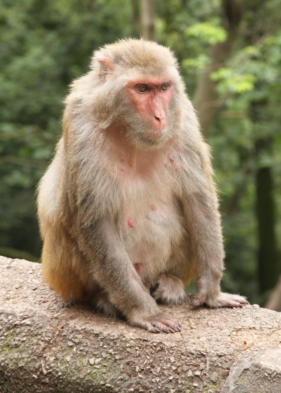Macacos-rhesus ( Macaca mulatta) foram usados nos experimentos (Foto: Wikipedia Commons)