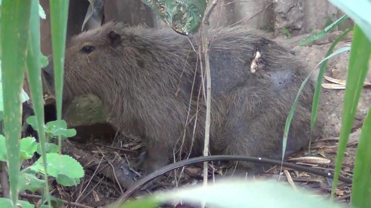 Capivara é resgatada com perfurações no corpo em Taubaté