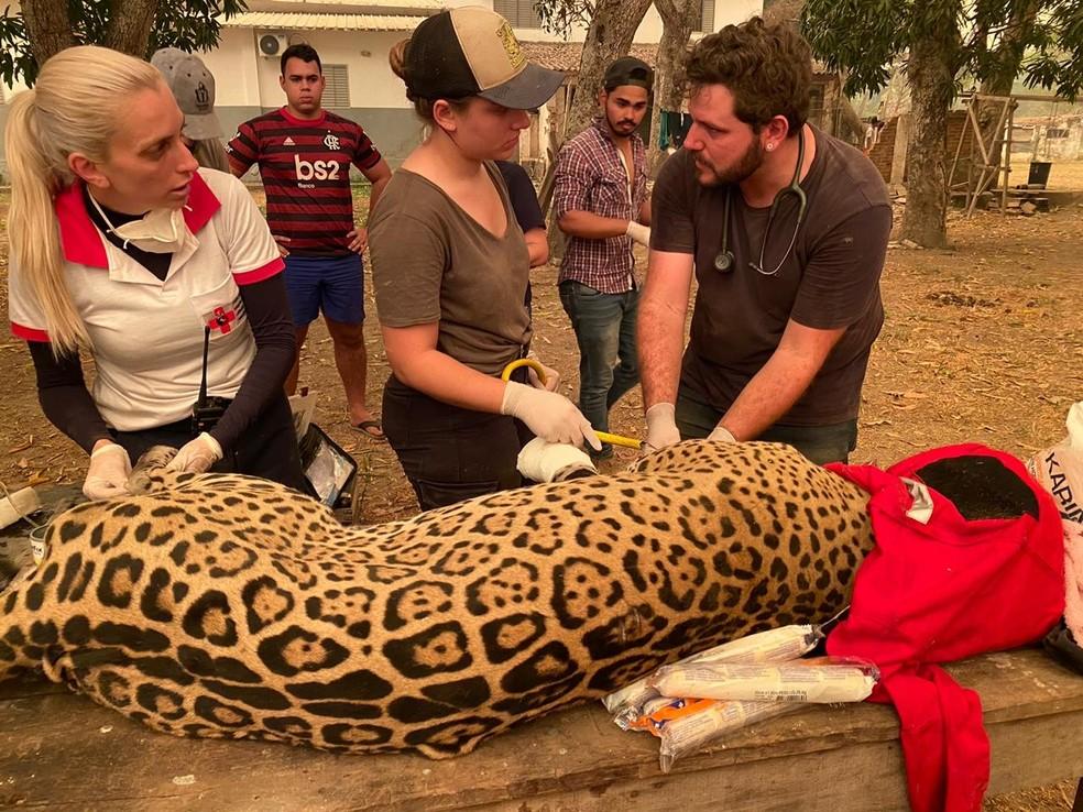 Voluntários resgataram na sexta-feira (11) uma onça-pintada com as patas queimadas — Foto: Natália Smiotto