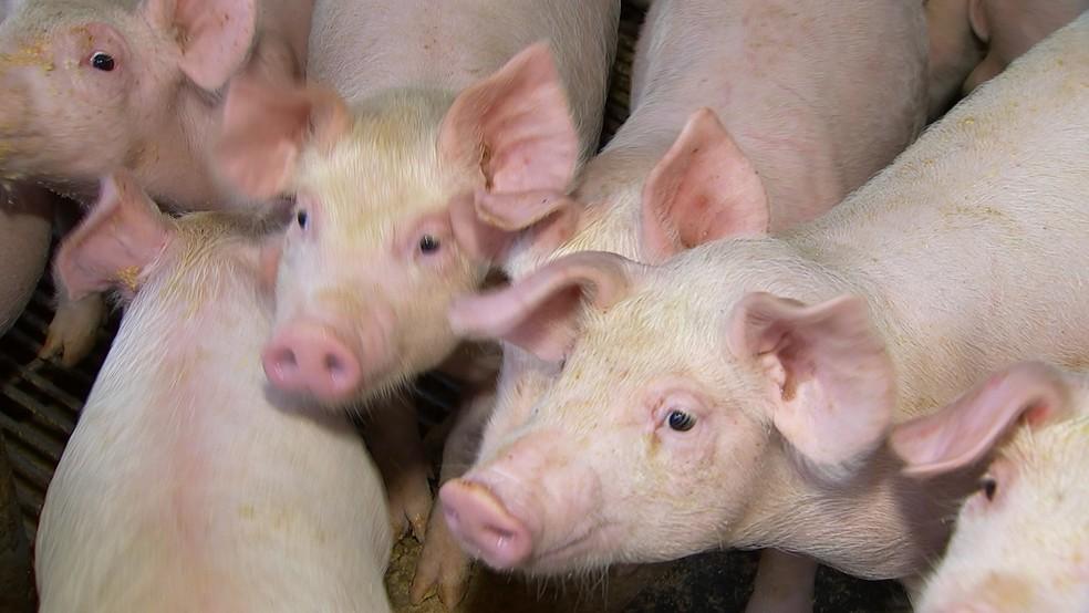 Brasil relata caso de peste suína clássica em Alagoas | Agronegócios | G1