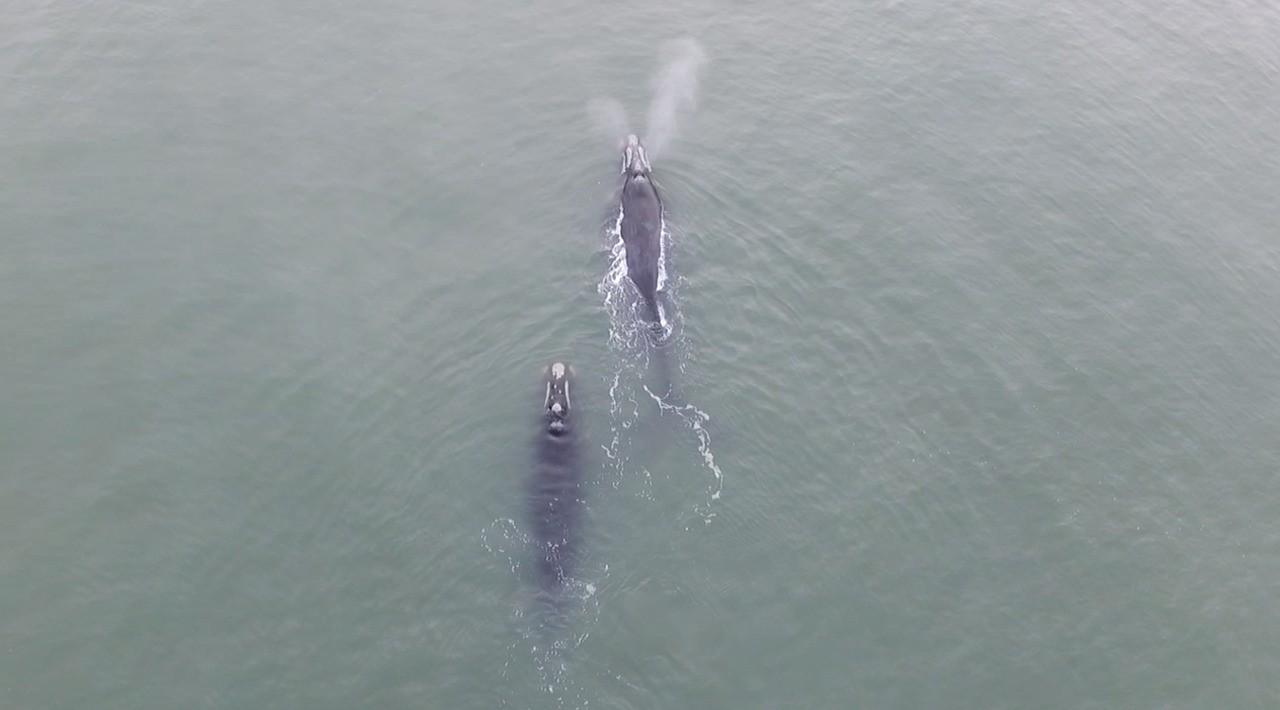 Baleias francas são avistadas na costa de Imbé, no Litoral Norte