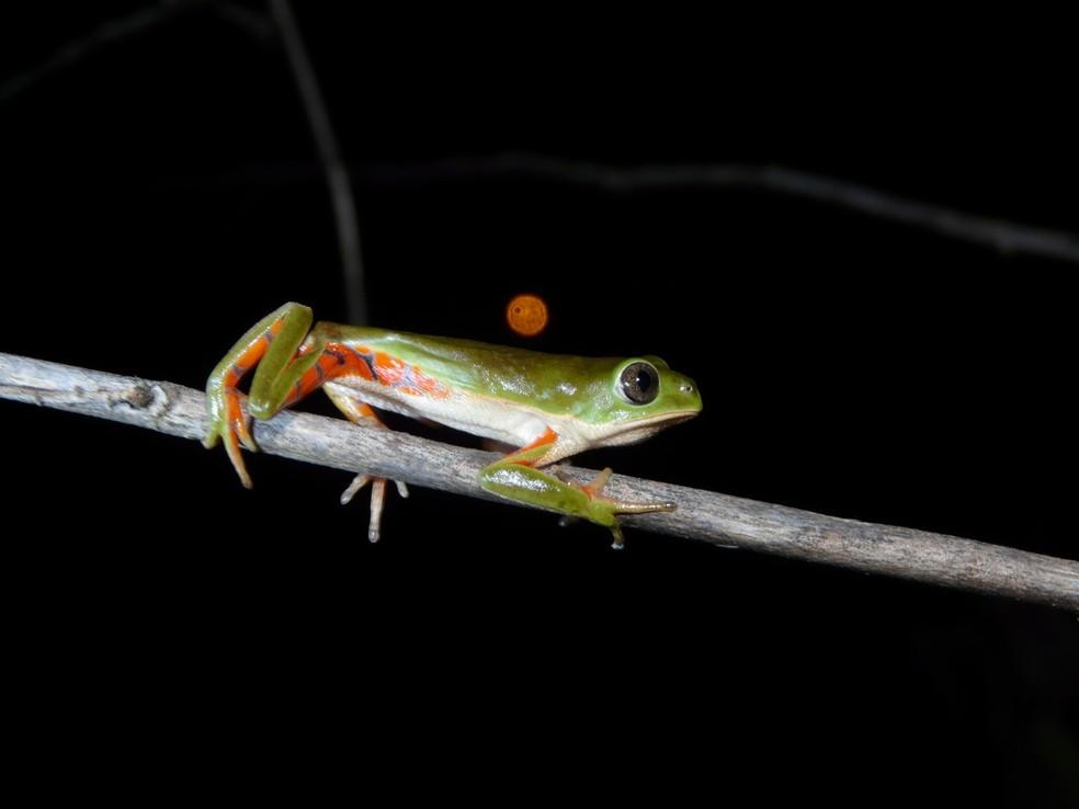 Pithecopus gonzagai, espécie-irmã de perereca encontrada na região Nordeste do Brasil — Foto: Michel de Aguiar Passos