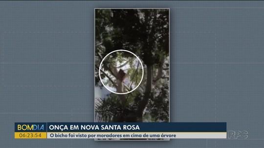 Onça parda é vista por moradores em Nova Santa Rosa, perto de Marechal Cândido Rondon