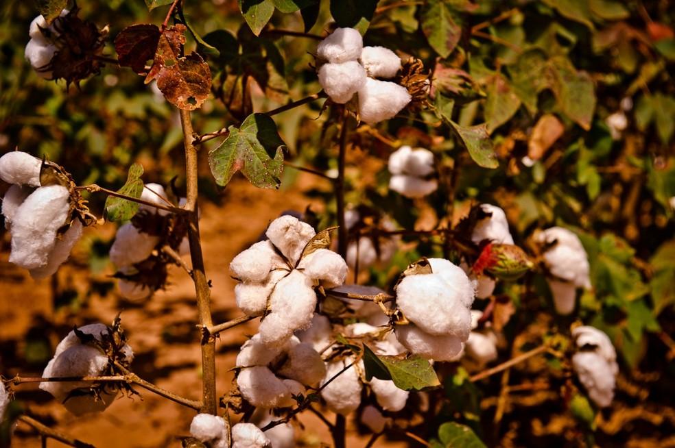 Sapezal é o maior produtor de algodão do país — Foto: Mayke Toscano/ Secom-MT