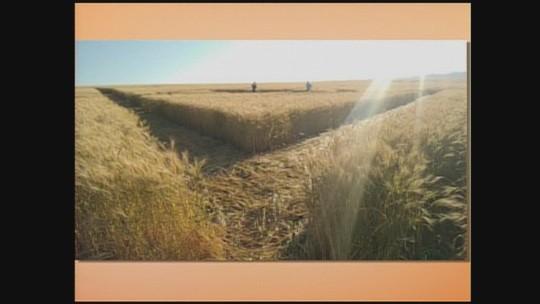 Marcas aparecem em plantação de trigo no Oeste de SC