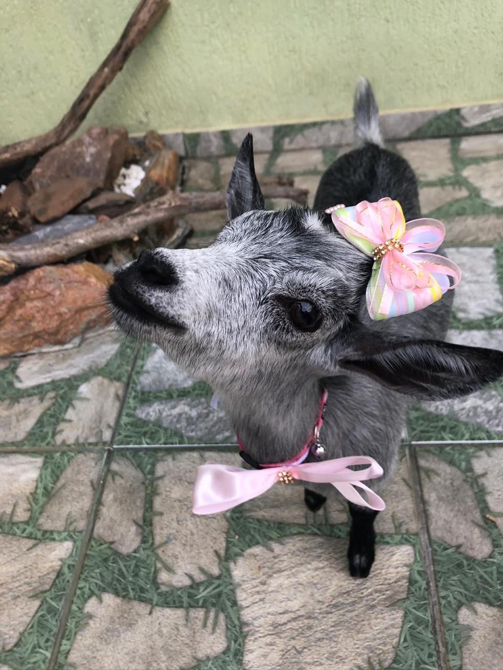 A cabra 'Karabina' é a xodó da veterinária Anna Beatriz de Jundiaí — Foto: Arquivo Pessoal