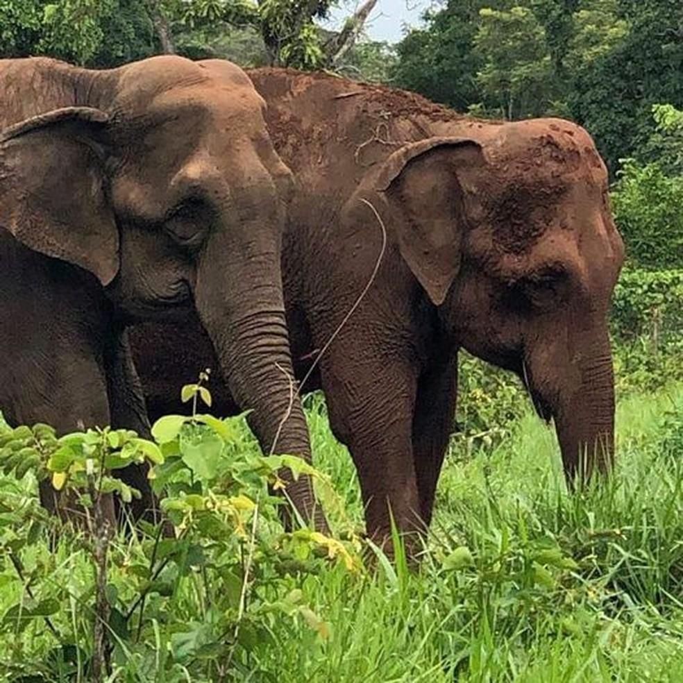 Mara (atrás) e Bambi (frente) juntas no recinto 4 do Santuário de Elefantes Brasil, em MT — Foto: SEB/Facebook