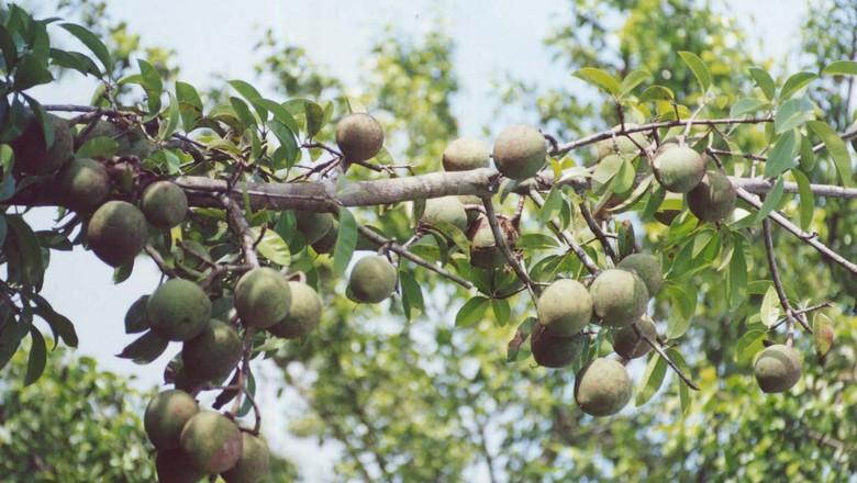bacurizeiro-arvore-bacuri-como-plantar (Foto: Ernesto de Souza/Editora Globo)