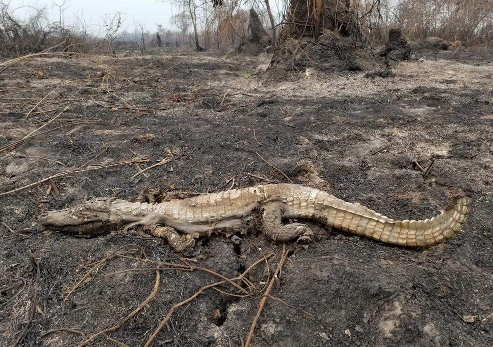 Jacaré queimado no Pantanal — Foto: Força Tarefa Pantanal/Divulgação