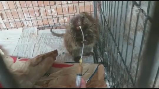 Ouriço é atropelado em rodovia e passa por cirurgia no Zoo de Bauru; vídeo
