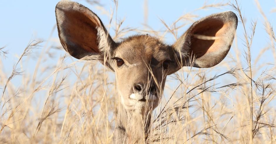 orelha; mamífero; curioso (Foto: Pexels)