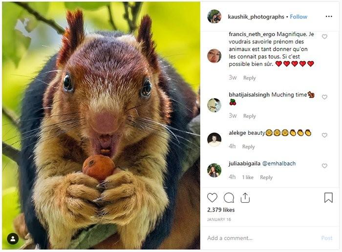 Esquilo Ratufa indica, flagrado pelas lentes do fotógrafo amador Kaushik Vijayan, se alimenta na natureza em uma floresta na Índia (Foto: KaushiK Vijayan/Instagram)