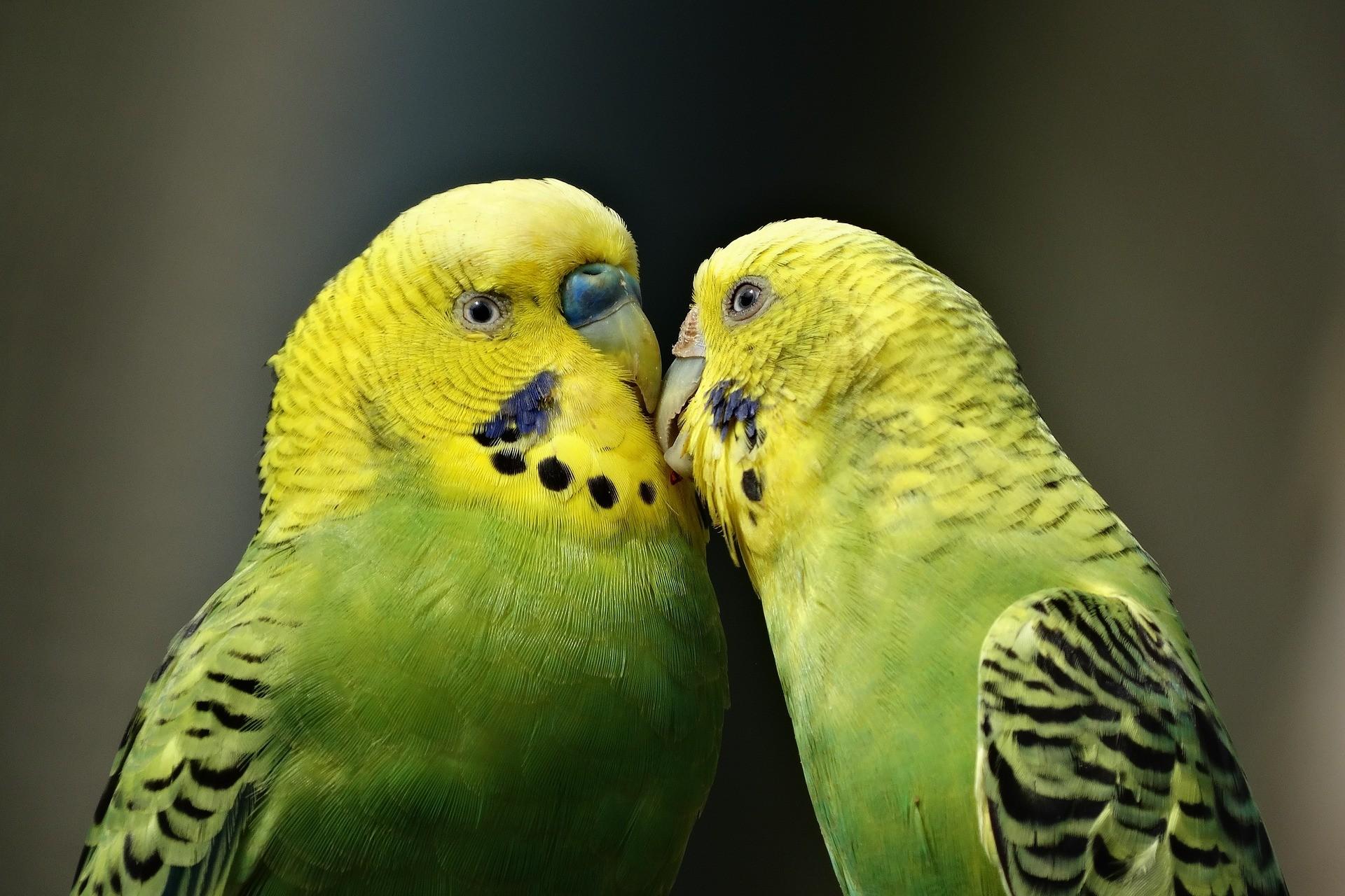 Fêmeas de periquitos preferem machos inteligentes, diz estudo