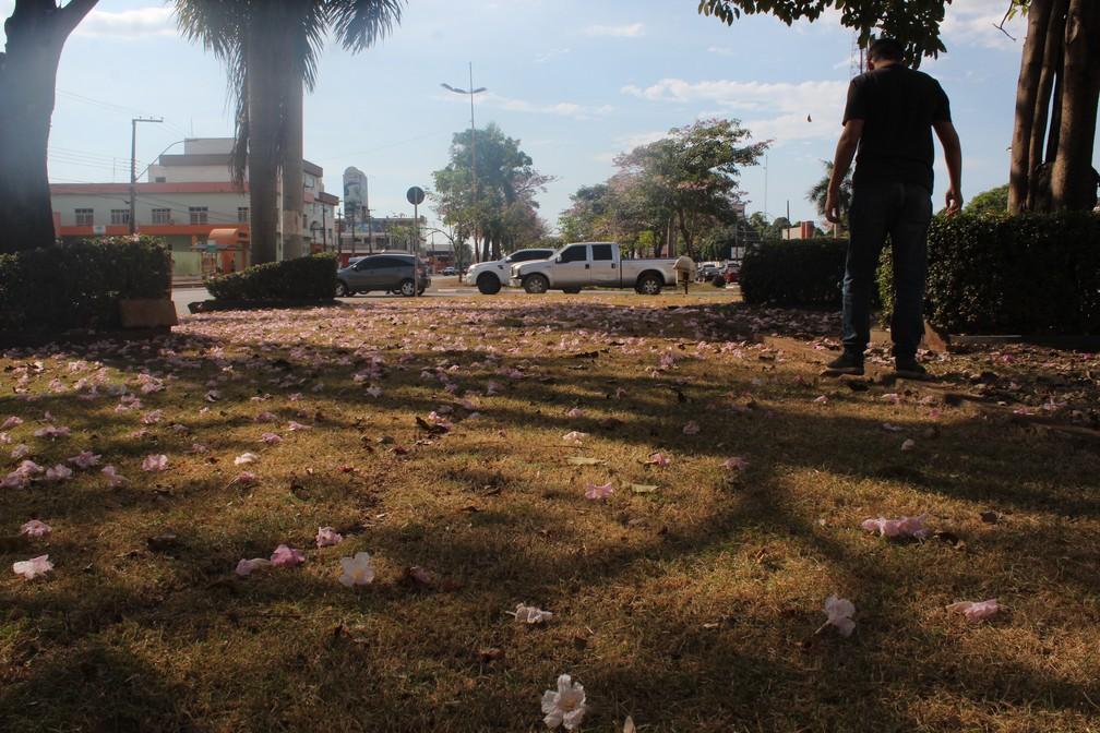 Morador de Porto Velho caminha entre flores dos ipês.  — Foto: Pedro Bentes/G1