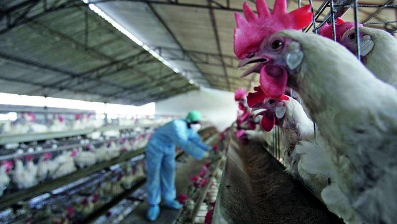 Frangos em granja  (Foto: Getty Images)
