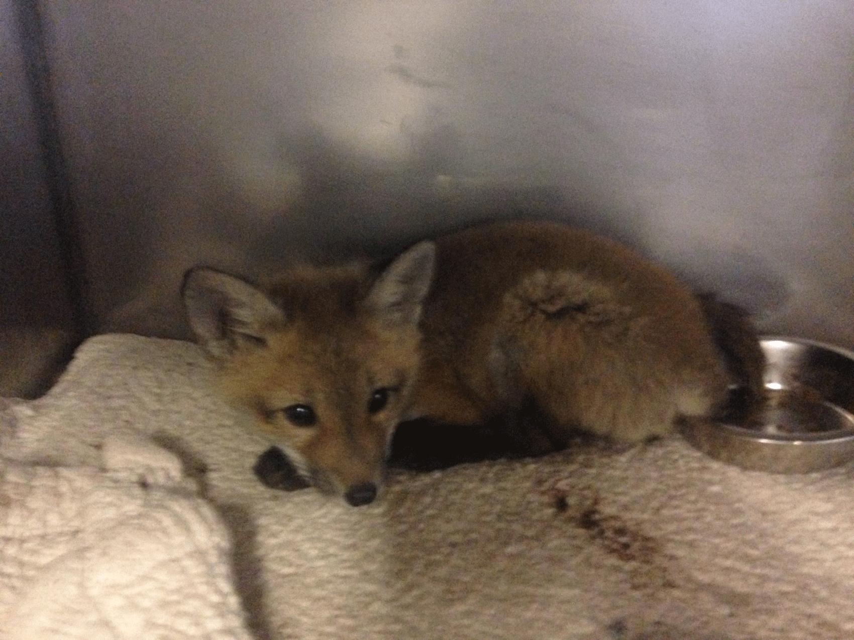 Filhote de raposa 'invade' casa pela portinhola de cachorro nos EUA