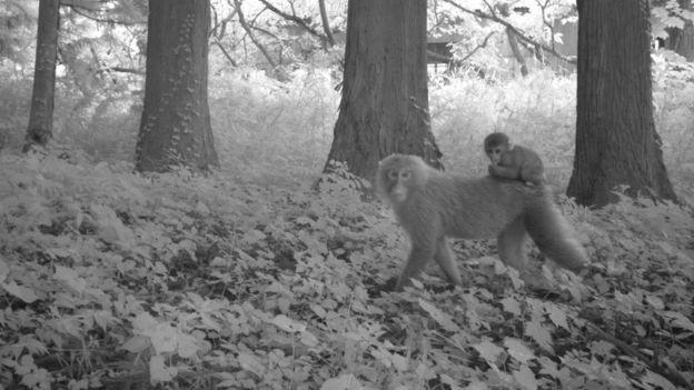 BBC - Dois macacos em uma área de Fukushima que foi atingida pelo acidente nuclear e permanece desabitada (Foto: Dois macacos em uma área de Fukushima que foi atingida pelo acidente nuclear e permanece desabitada)