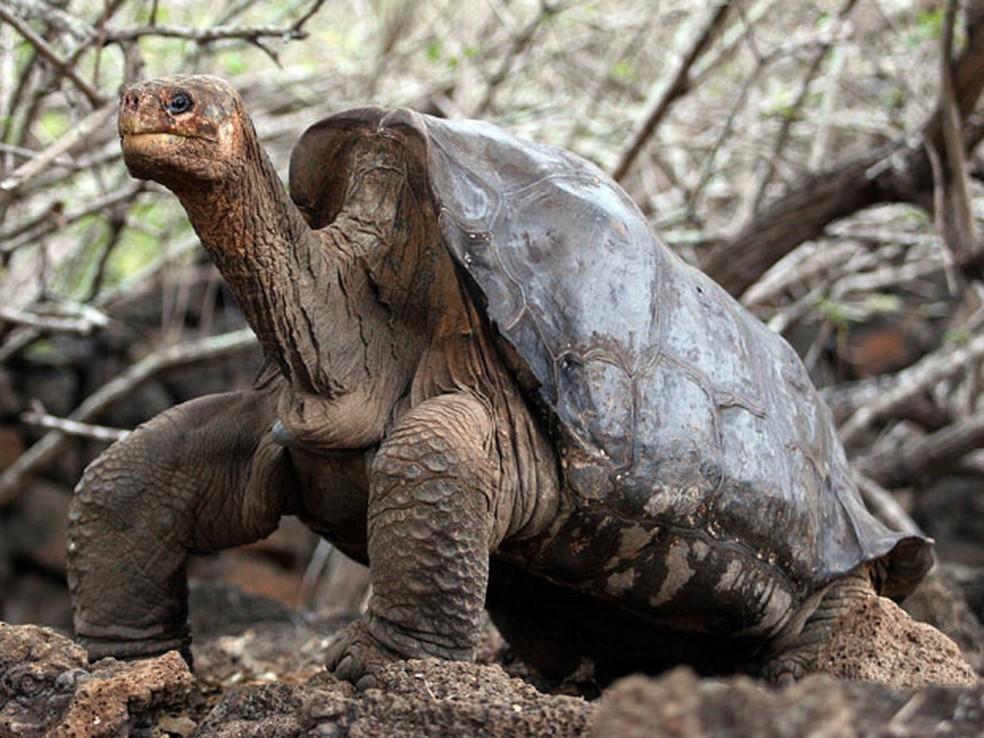 O exemplar de tartaruga-gigante de Galápagos chamado George Solitário morreu em junho deste ano — Foto: Rodrigo Buendia/AFP