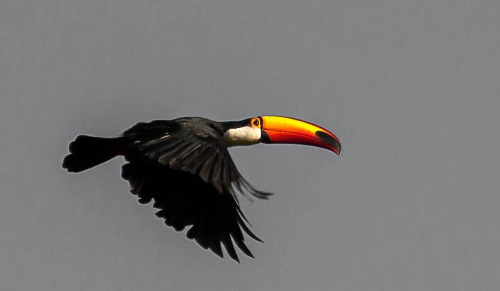 É comum que os tucanos planem no ar durante o voo.  (Foto: Vlamir Bastos/VC no TG)