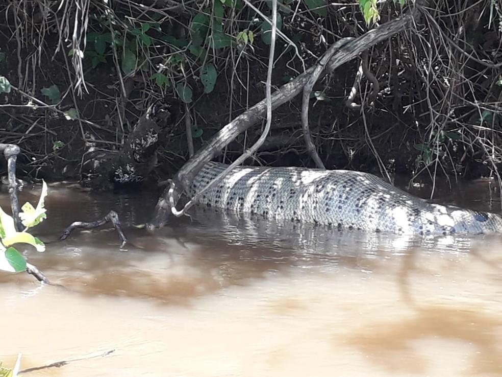 Suspeita é que animal teria engolido uma capivara, no rio Sucuriú, em Paraíso das Águas (MS). — Foto: Fernando Brito/Foto