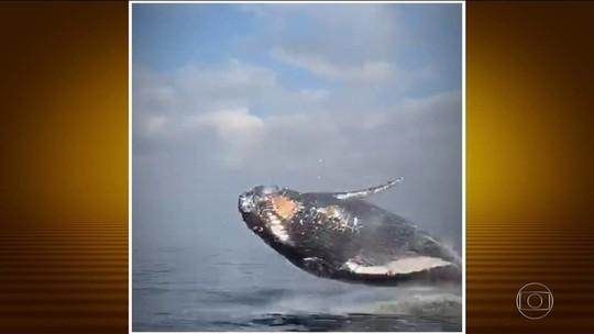 Baleia jubarte dá show e susto no mar da Barra da Tijuca; VÍDEO