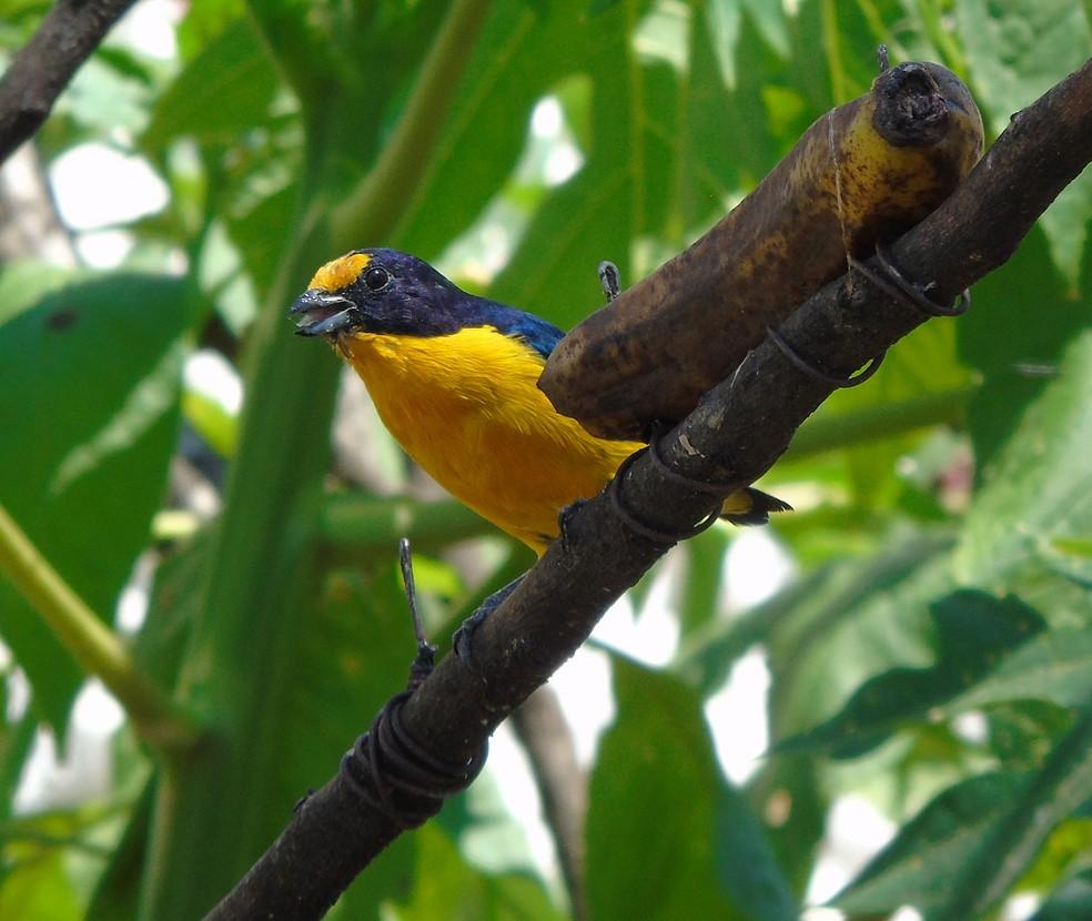 Gaturamo-verdadeiro imita com perfeição até 16 cantos de aves (Foto: Abrão Gomes/VC no TG)
