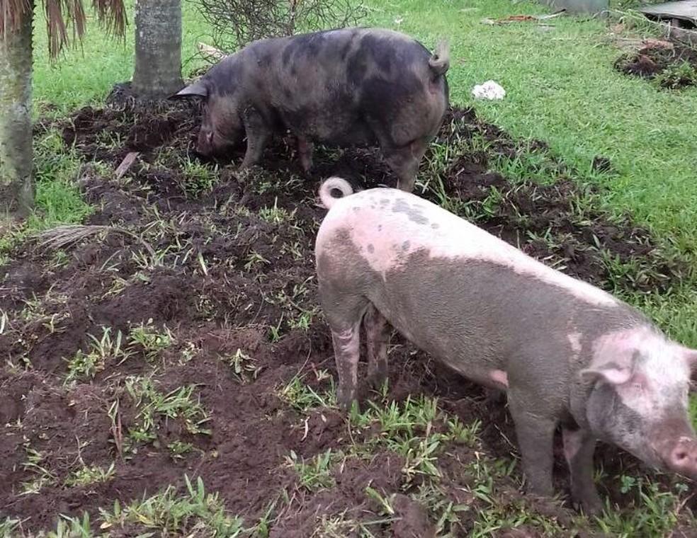 Porcos foram flagrados destruindo gramado de praça em Santos, SP (Foto: G1)