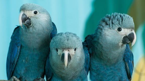 Três pássaros foram extintos em 2018; dois são brasileiros