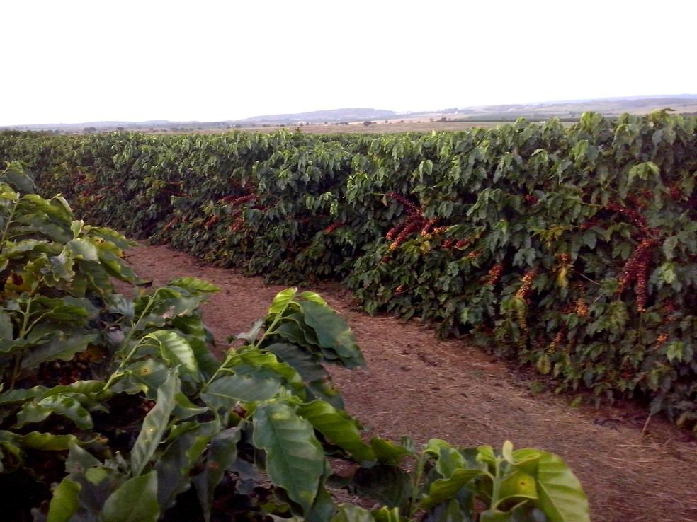 Cultivar de café IAC 125 RN, desenvolvida por melhoramento genético no IAC, em Campinas, possui resistência à praga que afeta raízes. (Foto: Júlio César Mistro/IAC)