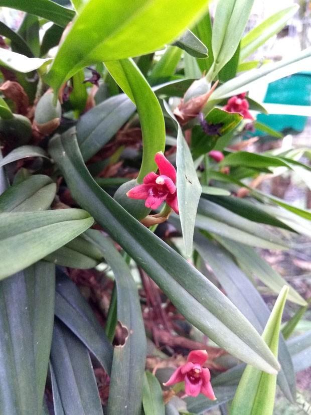 Mini orquídeas: cinco espécies que florescem no inverno para ter em casa (Foto: Divulgação)