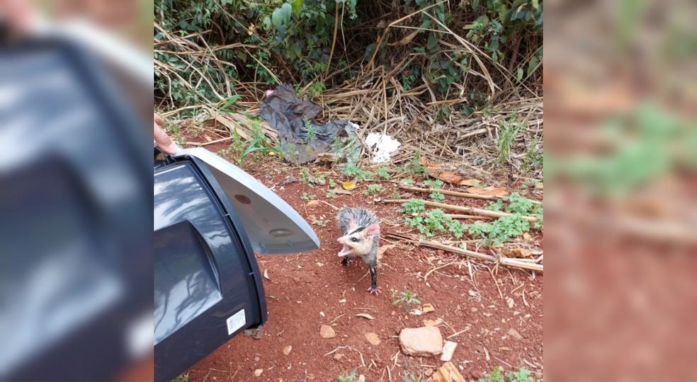 Filhote de Saruê é resgatado em Taquarituba — Foto: Prefeitura de Taquarituba/ Divulgação
