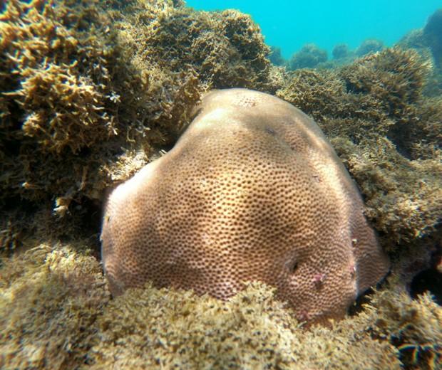Corais dependem de algas zooxantelas para se manterem saudáveis, mas em situações estressantes no ambiente marinho essa relação é abalada (Foto: Larbim/UFPB)